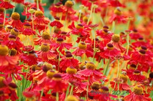 Sommerblüten-072
