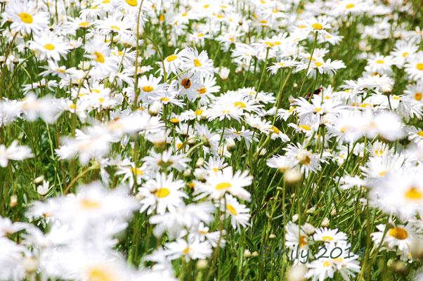 Sommerblüten-078